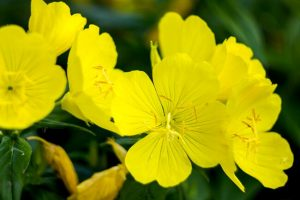 Best Utilities of the Evening primrose oil