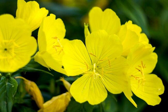 Best Utilities of the Evening primrose oil