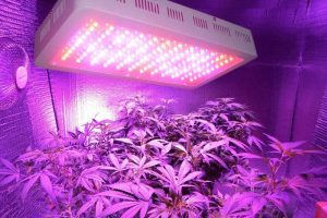 Cannabis Grow Lights Are Good For Harvesting Cannabis